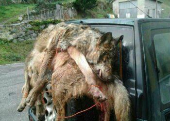 Coordinadora Ecoloxista y ASCEL: «continúa el salvajismo con el lobo con la complicidad del Principado»