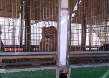 León en Común denuncia «las malas condiciones condiciones» de los animales del circo