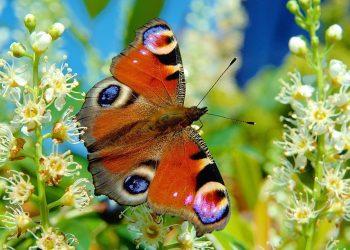 Mariposas y flores ya no salen al mismo tiempo por el cambio climático