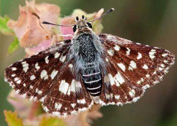 La ciencia descubre una nueva especie de mariposa en la Península Ibérica