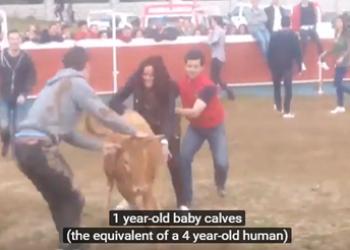 El sufrimiento de los animales en las capeas y las sueltas de reses,  ahora también en el punto de mira de los antitaurinos