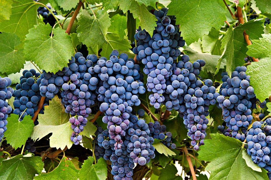 Una investigación busca especies de viñedos en peligro de extinción