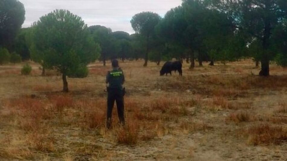 Así mataron al toro de Tordesillas: Crónica de Pelado, el Toro de la Peña