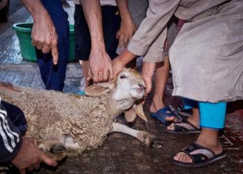 PACMA exige eliminar las excepciones legislativas que permiten sacrificios religiosos de animales