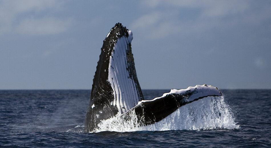 La Comisión Ballenera Internacional, frente a una oportunidad histórica para la creación de un Santuario de cetáceos en el Atlántico Sur