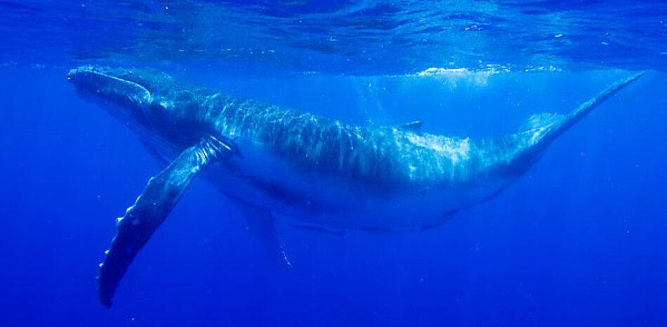 Greenpeace lamenta el no a la creación de un Santuario de Ballenas en el Atlántico Sur