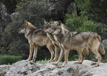 Ecologistas en Acción reclama el fomento de medidas de convivencia entre la ganadería extensiva y el lobo ibérico