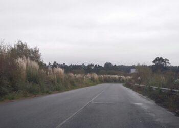La «hierba de la Pampa» una especie invasora que es un peligro para la biodiversidad en Narón en Galiza y en todo el Estado Español