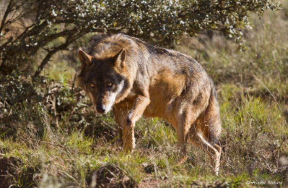 Anadel muestra su indignación por la actitud del juez y la Fiscalía en el caso de los dos lobos matados furtivamente en Ávila en noviembre de 2015