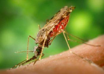 Primera vacuna contra la malaria que usa parásitos atenuados genéticamente