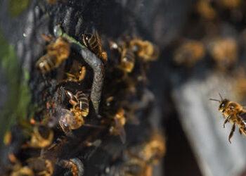 Insecticidas usados en Europa suponen mayor riesgo para las abejas y otras especies de lo que se pensaba