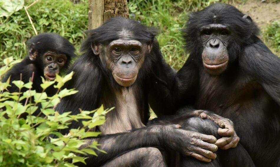 El tráfico de grandes simios continúa de una forma alarmante y sus poblaciones siguen disminuyendo