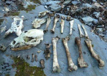 Denuncian que el veneno podría ser el responsable de la muerte de dos osos en Asturias