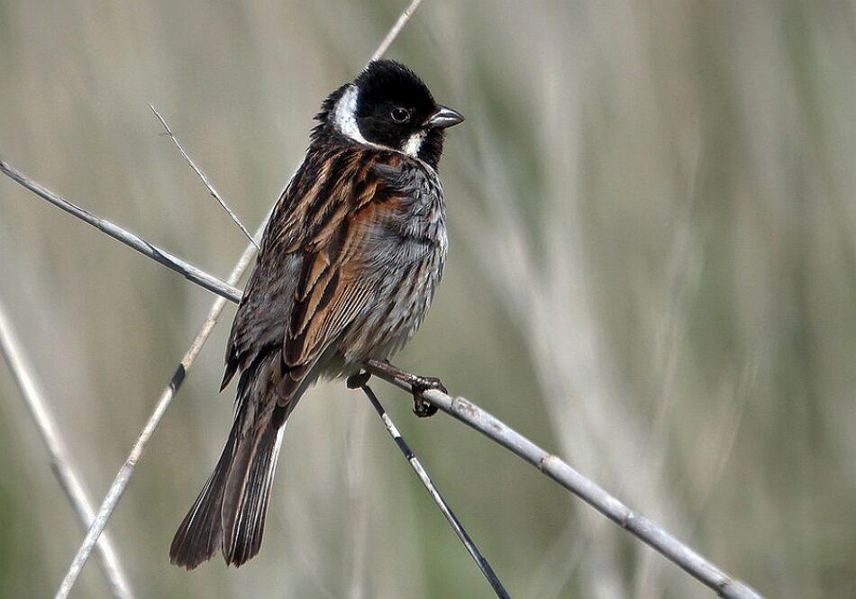 La Xunta de Galicia puso en riesgo a un ave en peligro de extinción al autorizar una batida de jabalí en una zona protegida de la Red Natura 2000