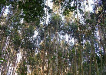 La Coordinadora Ecoloxista denuncia la expansión incontrolada del eucalipto en Asturias