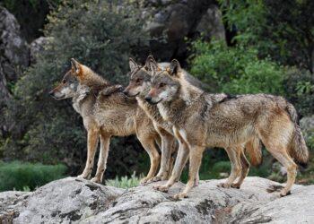 La Coordinadora Ecoloxista denuncia la nueva campaña de matanza del lobo ibérico orquestada desde el Gobierno asturiano
