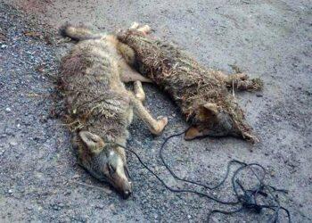 El ecologismo asturiano rechaza participar en el Comité del Lobo por la deficiente actuación del Principado en su conservación
