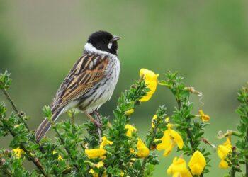 El nuevo parque eólico proyectado por Gas Natural Fenosa en la Costa da Morte podría afectar a la conservación de una especie en peligro de extinción