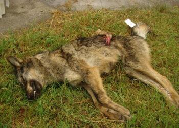 Los cazadores siguen matando lobos sin control por toda Asturias