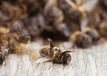 Los neonicotinoides son peligrosos para las abejas incluso cuando se utilizan en invernaderos