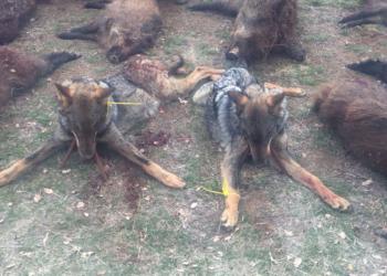 Denuncian la caza ilegal y muerte de 4 lobos y de otro moribundo en Valladolid