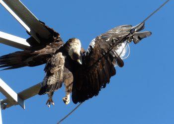 Compromís porta al Senat la silenciada electrocució d'aus protegides a les línies aèries de tot el país
