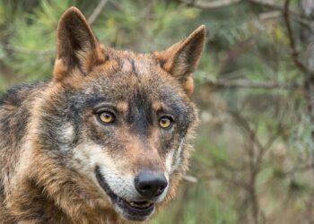 EQUO Andalucía celebra que la Junta prepare la posible presencia del lobo en Andalucía para proceder a su gestión