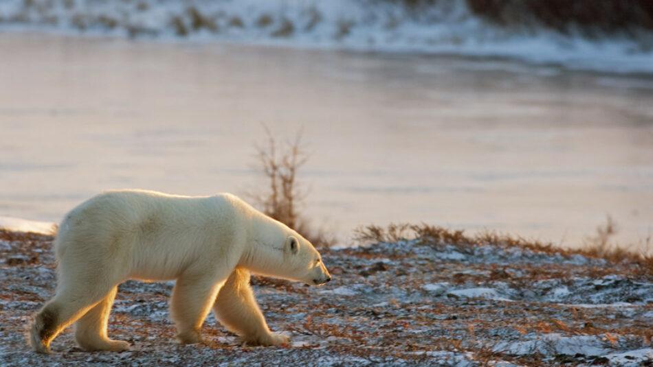 El calentamiento global acabará con especies como el oso polar y los arrecifes de coral para 2100