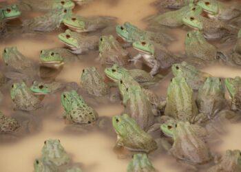 Juantxo López de Uralde registra una pregunta parlamentaria sobre una nueva especie invasora, la rana toro