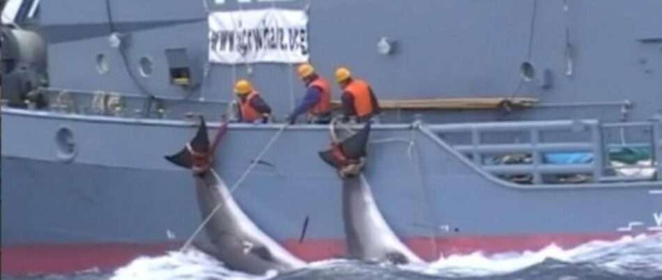 Japón se retira de la CBI y cazará ballenas sin control a partir del 2019