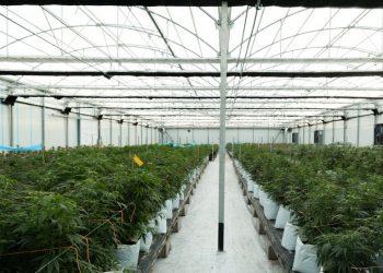 El Observatorio Europeo del Cannabis denuncia falta de transparencia y prácticas de monopolio en la concesión de licencias del sector
