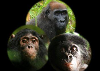 Así reaccionan chimpancés, gorilas y bonobos ante una cámara en el bosque