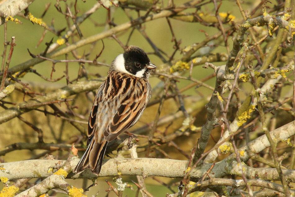 Arranca la segunda campaña de anillamiento científico de aves palustres  en cuatro humedales en la Comunidad Valenciana