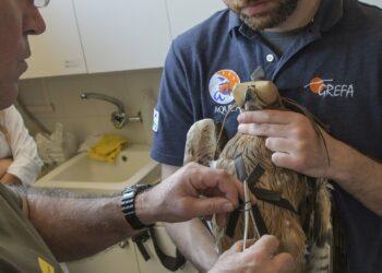 Águilas de Bonelli reintroducidas crían por primera vez en la Comunidad de Madrid