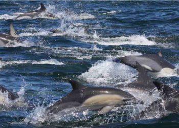 Los niveles de contaminantes en los delfines del Índico superan a los del Mar de Alborán