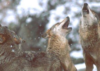 Ecologistas en Acción denuncia la persecución del lobo en el Parque Nacional de los Picos de Europa