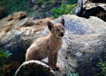 Nace el primer lince boreal en el Pirineo desde hace más de un siglo
