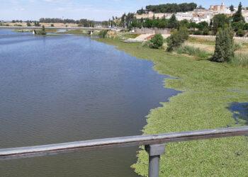 Ecologistas Extremadura opta por el desbroce del nenúfar mejicano y pide la formación de un equipo de medio ambiente en Confederación