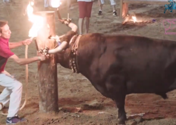 Animal Guardians y La Tortura No Es Cultura presentarán denuncia contra contra los toros embolados de La Vall d'Uxió