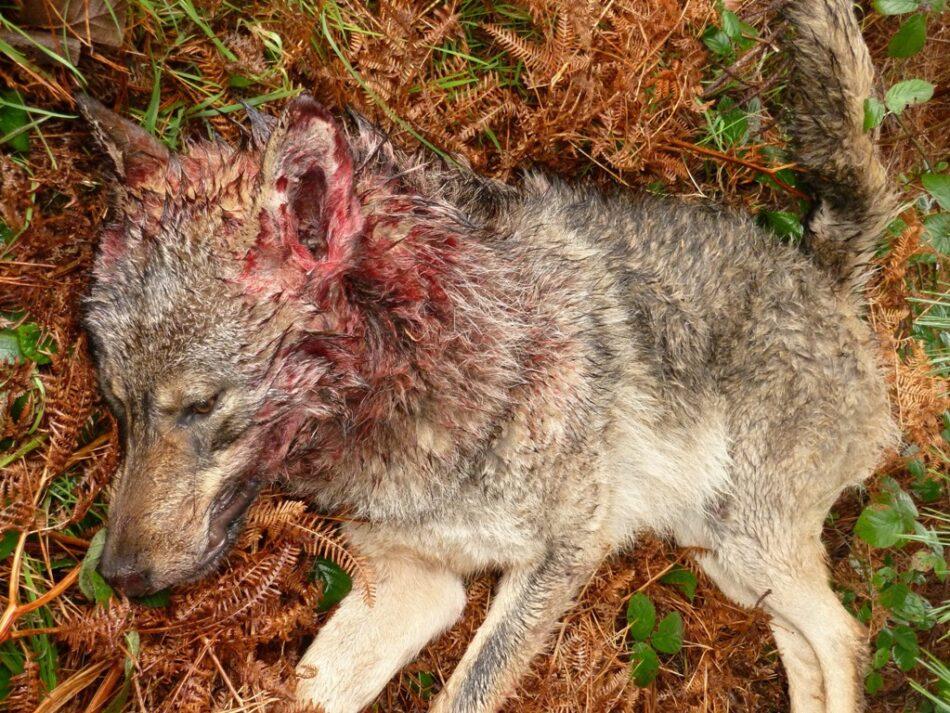 La Junta de Castilla y León contraviene la directiva europea autorizando la caza de 339 lobos