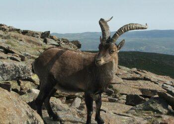 Ecologistas Extremadura denuncia la introducción de especies foráneas sin controles sanitarios destinadas a la caza recreativa