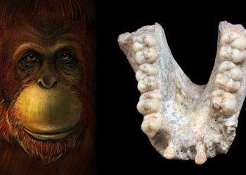 El gigante extinto 'Gigantopithecus' era pariente lejano del orangután