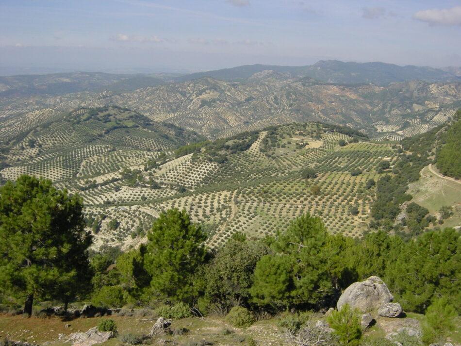 Adelante Andalucía exige partidas presupuestarias para paliar los efectos al olivar de los aranceles de EEUU