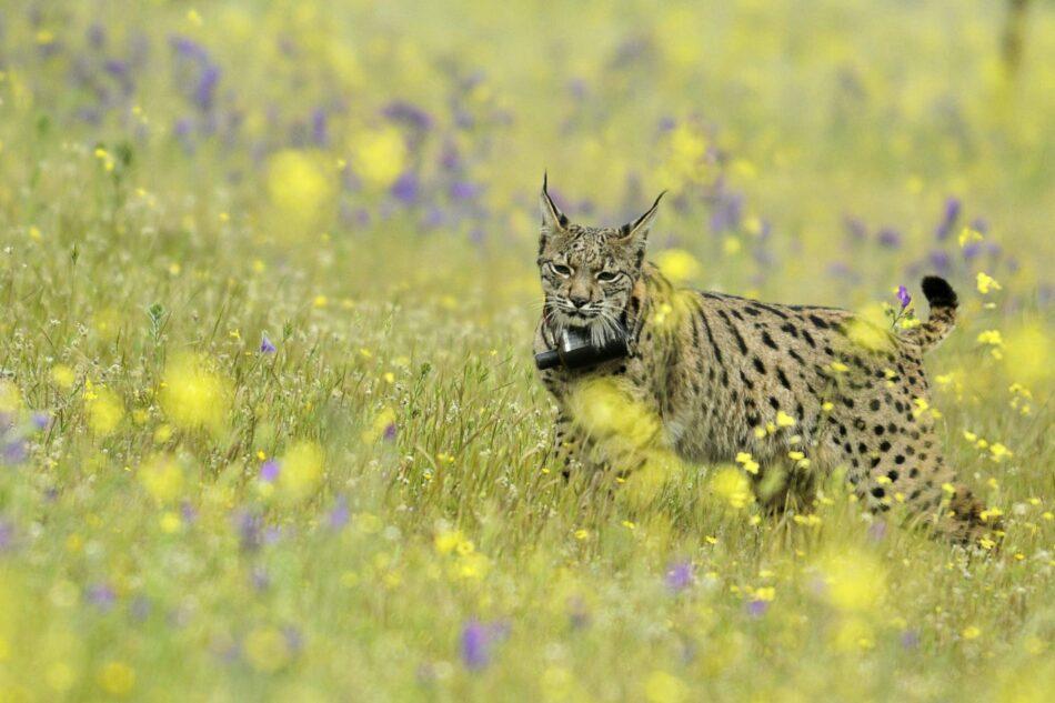 El regreso del Lince Ibérico al Parque Nacional de Monfragüe se ve amenazado por las monterías