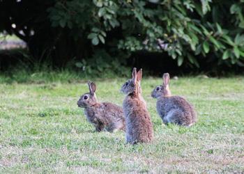 El conejo en peligro debido a las malas prácticas agrícolas y cinegéticas
