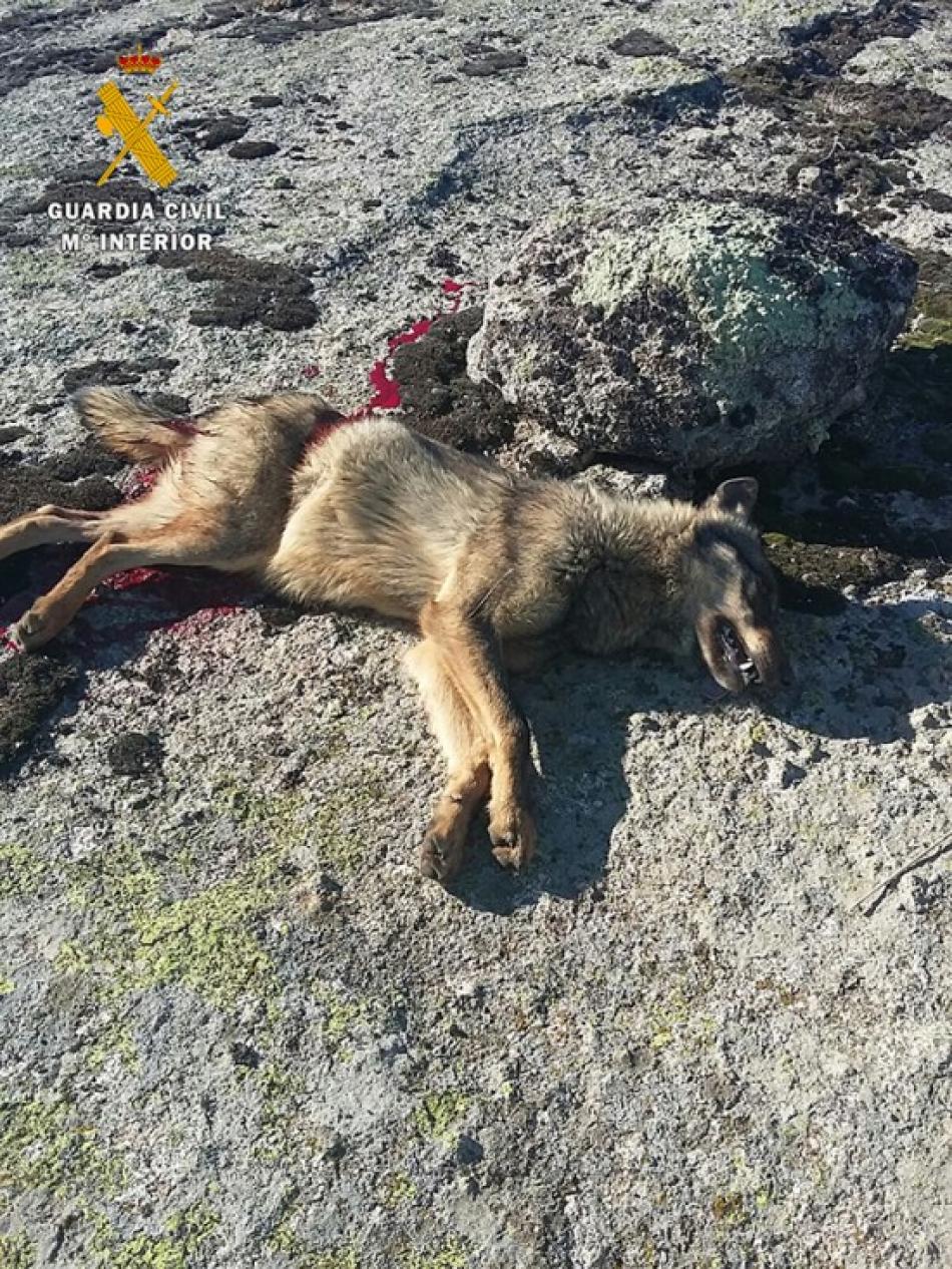 Comienza en Ávila el juicio por la caza ilegal de lobos durante una montería