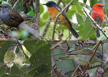 Hallan diez especies y subespecies de pájaros cantores en Indonesia