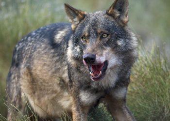 Una Sentencia del TSJCyL anula el programa de caza del lobo 2016-2019 y declara ilegal la muerte de 173 lobos en Castilla y León