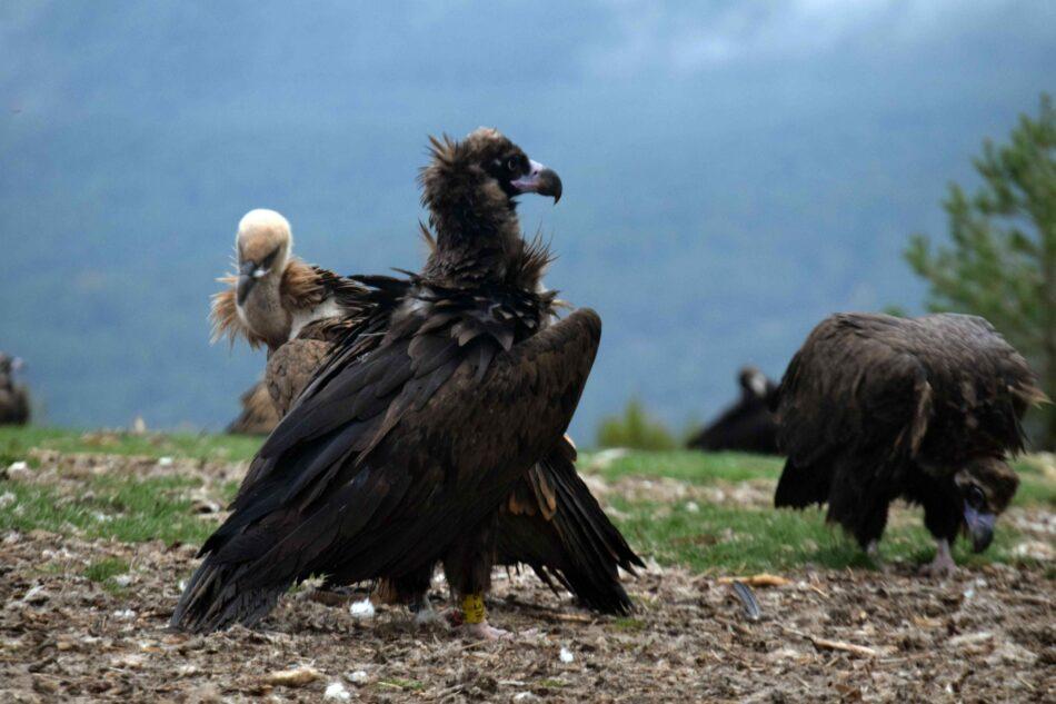 Trece buitres negros llegaron hoy a la Sierra de la Demanda para favorecer a esta especie amenazada