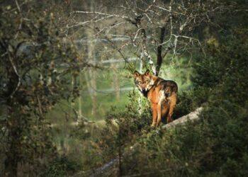 López de Uralde espera que la suspensión de la caza del lobo en Álava sea definitiva
